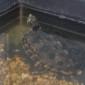 Lessing_Wasserschildkroete_Tierheim_Cappel_Marburg (5)