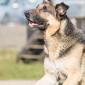 Atilla_Hund_Schaeferhund_Tierheim_Cappe.l_Marburg (1)