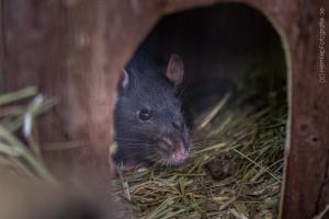 Ratte_Tierheim_Cappel_Marburg (2)