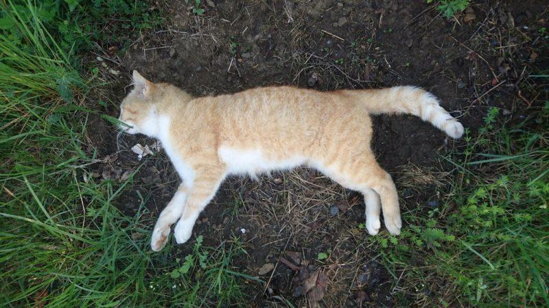 weise katze ausgewachsen